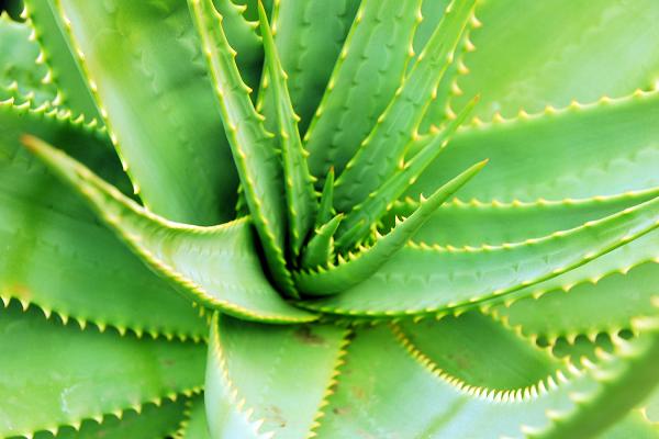 Hình ảnh Các loại cây thuốc Nam theo Đông y giúp trị đau nhức xương khớp